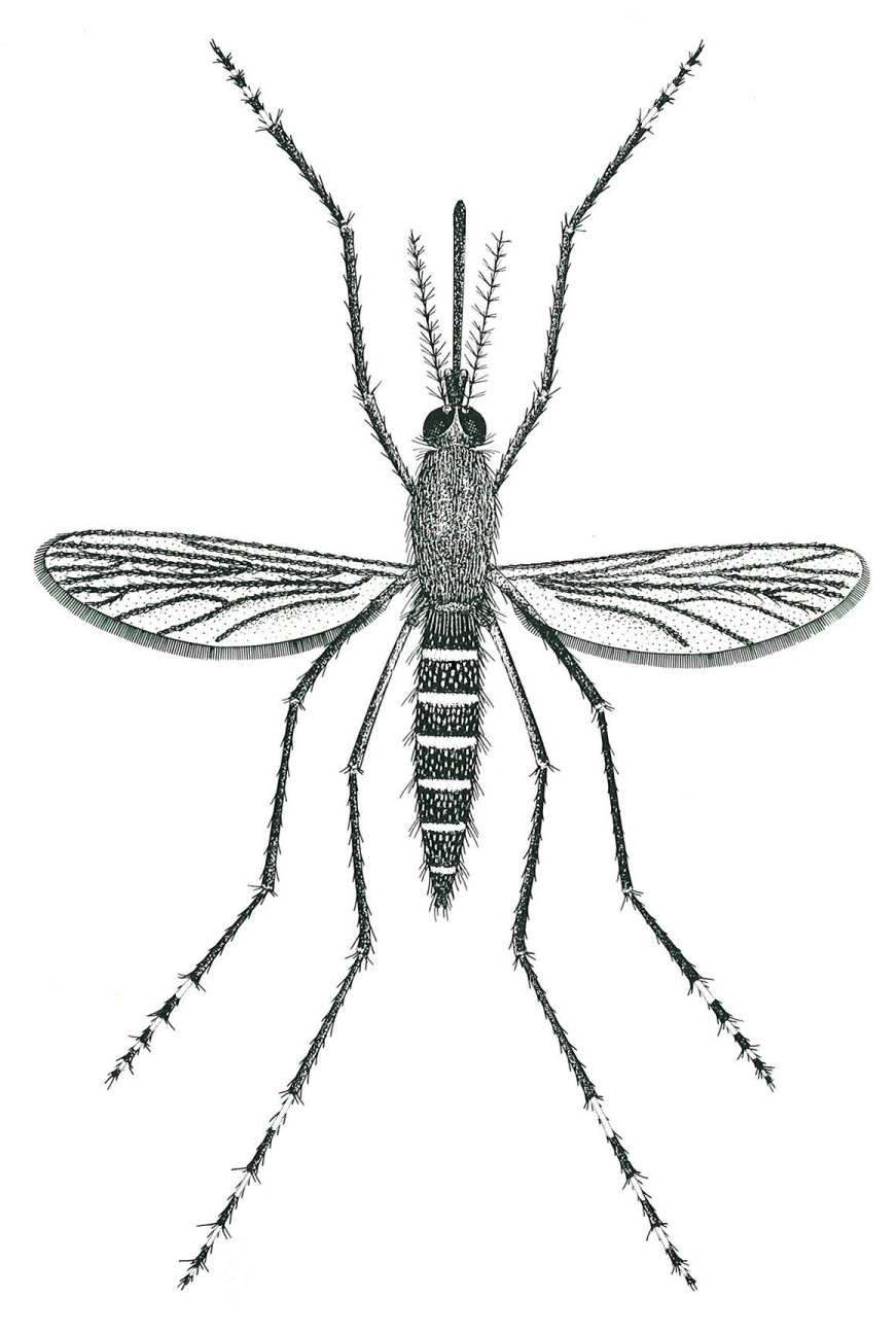 Aedes annulipes cantans